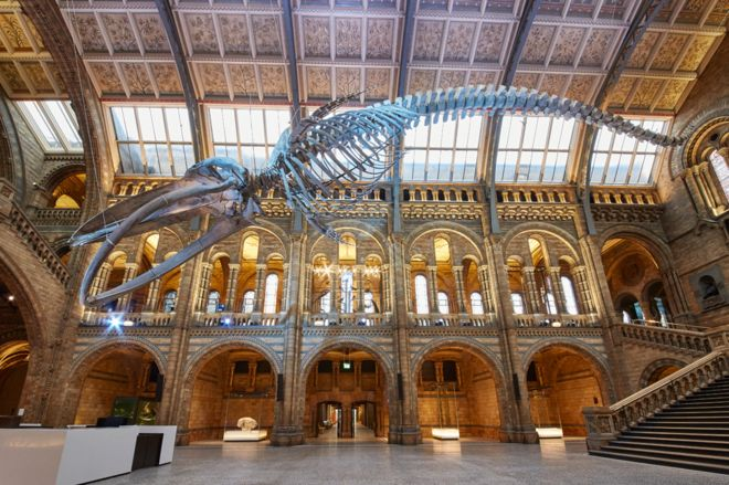 blue whale takes centre stage at natural history museum bbc news