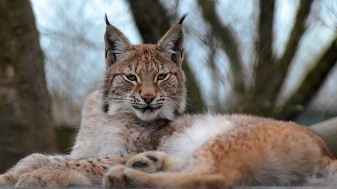 escaped lynx borth zoo s big cat humanely destroyed bbc news