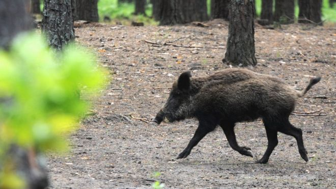 Waikato family responding to treatment after eating potentially contaminated wild boar
