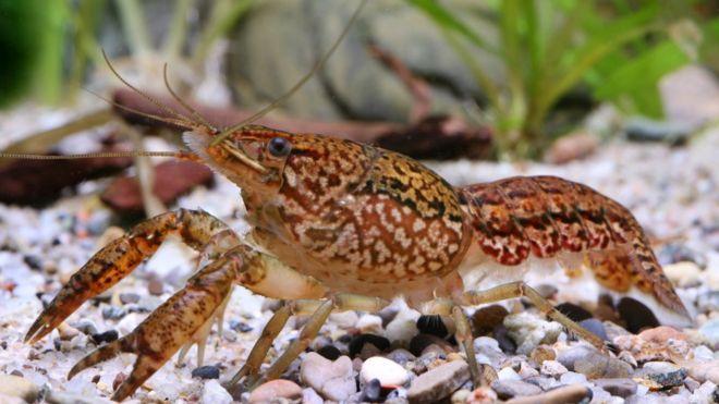 Cangrejos de agua dulce reproduccion asexual
