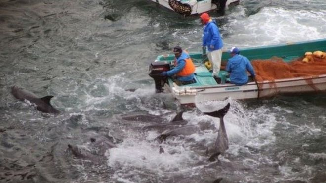 Dolphins are rounded up in Taiji, Japan (Jan 2014)
