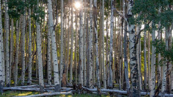 Aspen trees (Image: Martin Venturas)