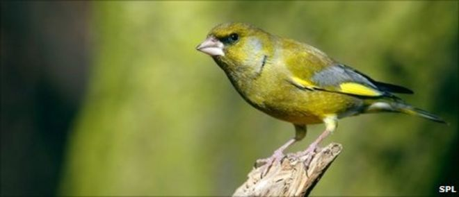 Scenic Disease Threat To Uk Garden Birds  Bbc News With Inspiring Greenfinch Image Science Photo Library With Archaic British Gardener Also Garden Seat Swings In Addition Garden City Library Hours And Jubilee Gardens Nursing Home As Well As Covent Garden Laminates Additionally Garden Water Taps From Bbccouk With   Inspiring Disease Threat To Uk Garden Birds  Bbc News With Archaic Greenfinch Image Science Photo Library And Scenic British Gardener Also Garden Seat Swings In Addition Garden City Library Hours From Bbccouk
