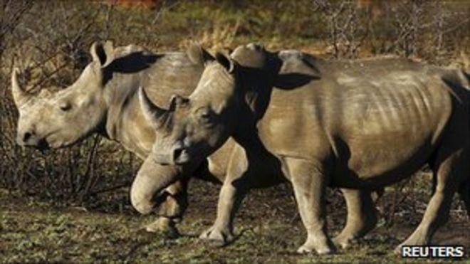 Носороги в игровом парке в Южной Африке