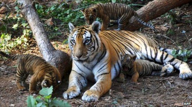 India wild tiger census shows population rise - BBC News