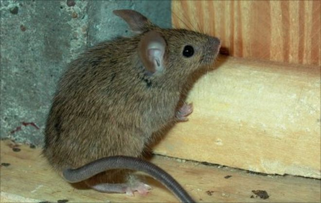 Rats and mice - Belfast City Council's winter warning - BBC News
