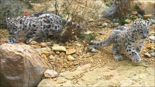 Baby Snow Leopards Born At Leicestershires Twycross Zoo
