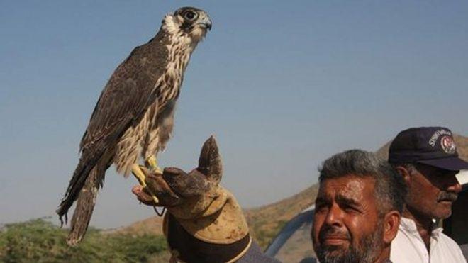 Сокол в Пакистане