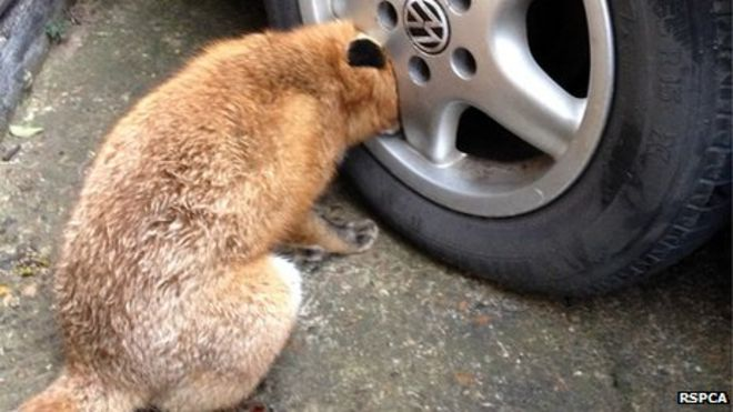 Firefighters and RSPCA rescue fox trapped in car wheel in