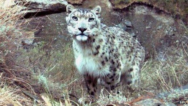 [Image: _68904020_c0145509-snow_leopard-spl.jpg]