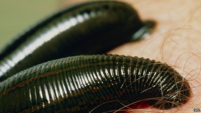 medicinal leech farming making a comeback in wales bbc news