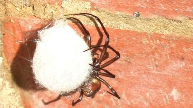 Giant African Cave Spider