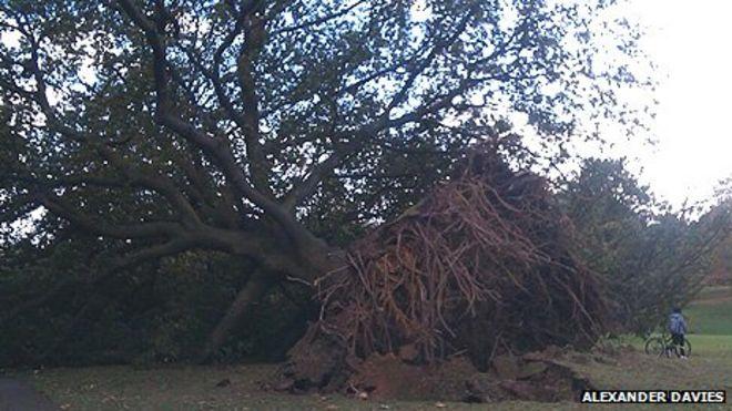 Это огромное дерево было выкорчевано в Синглтон Парке в Суонси в субботу