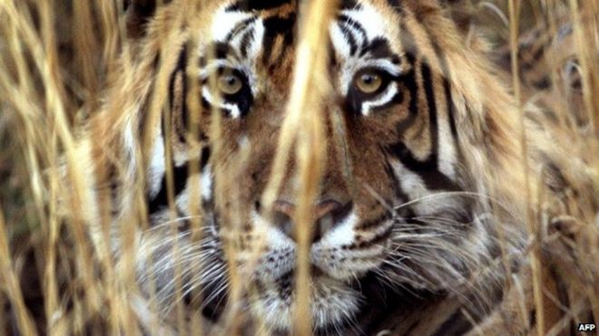 Why are India's tigers killing humans? - BBC News