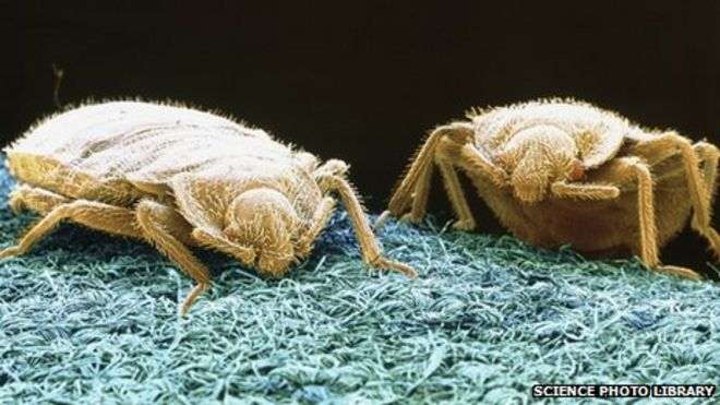 Bed bugs. Catching the mother of all bed bugs   BBC News