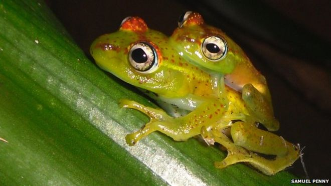 e87a3fb73bcfb Bristol student discovers  critically endangered  tree frog - BBC News