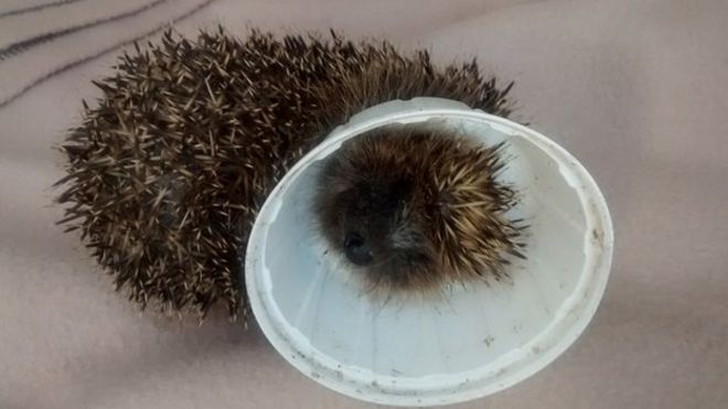 Hedgehog trapped in a plastic lid & RSPCA litter warning as trapped hedgehog freed from lid - BBC News Aboutintivar.Com