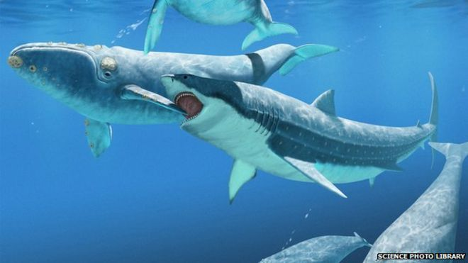 monster shark kept whales in check bbc news