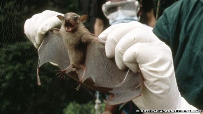 https://ichef.bbci.co.uk/news/660/media/images/79985000/jpg/_79985957_g3550110-testing_a_bat_for_ebola_virus-spl-1.jpg