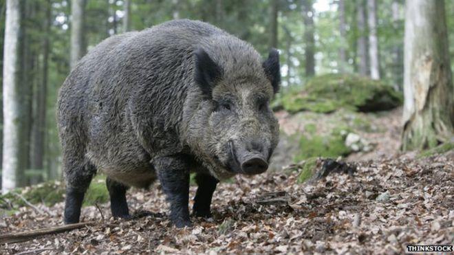 princess anne s pig killed in wild boar attack bbc news