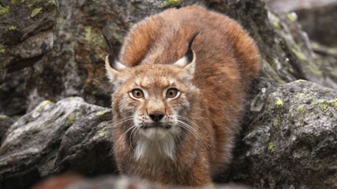should the lynx be reintroduced to britain bbc news