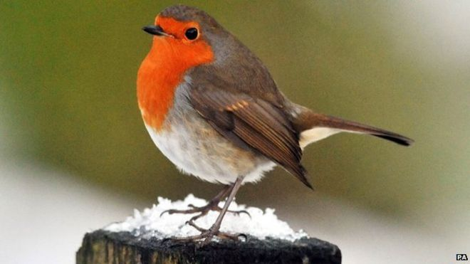 Robin Tops Poll To Find Uks National Bird Bbc News
