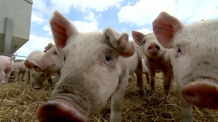 https://ichef.bbci.co.uk/news/695/cpsprodpb/10EF9/production/_96396396_pigs.jpg