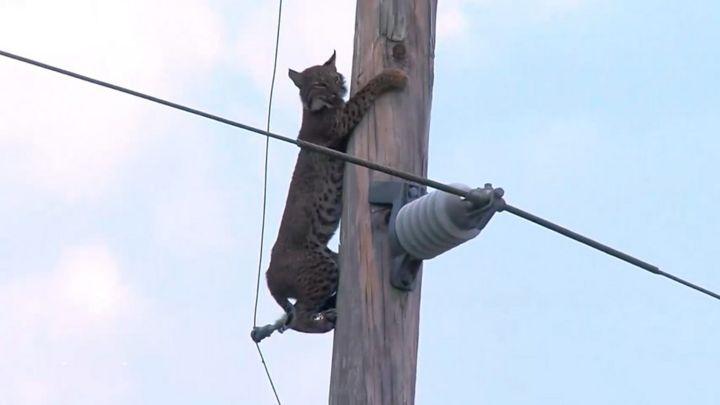 Lince 'se recusa' a ser resgatado do topo de poste de eletricidade