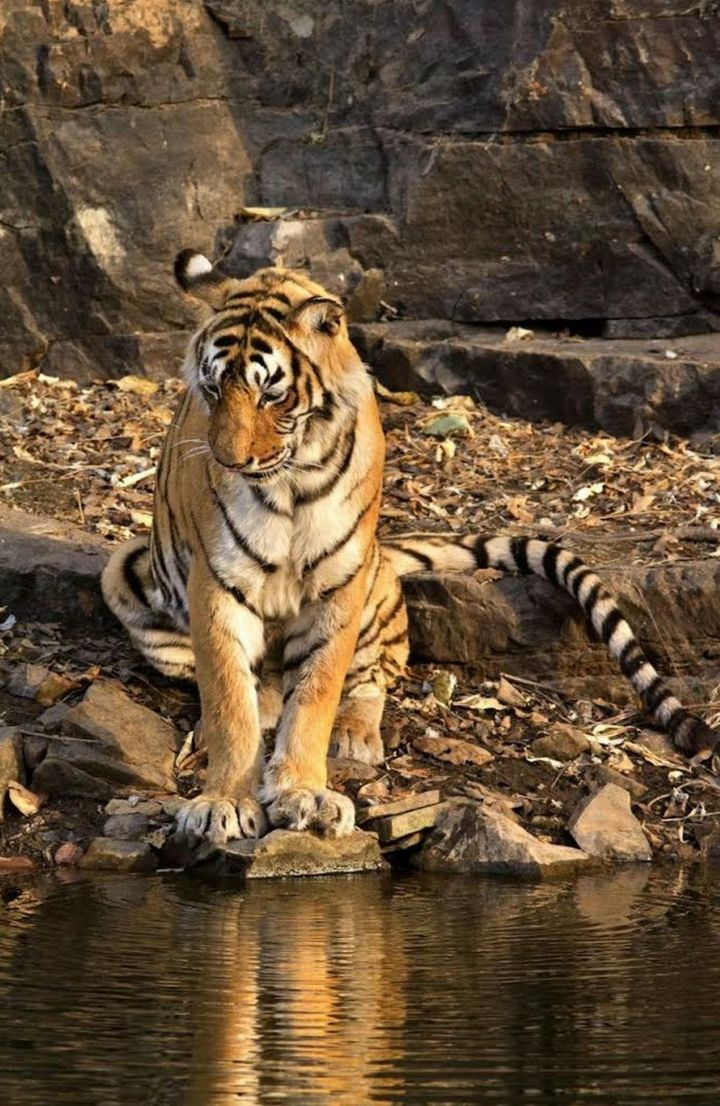 India's most famous tiger, Machli, dies in Ranthambore aged