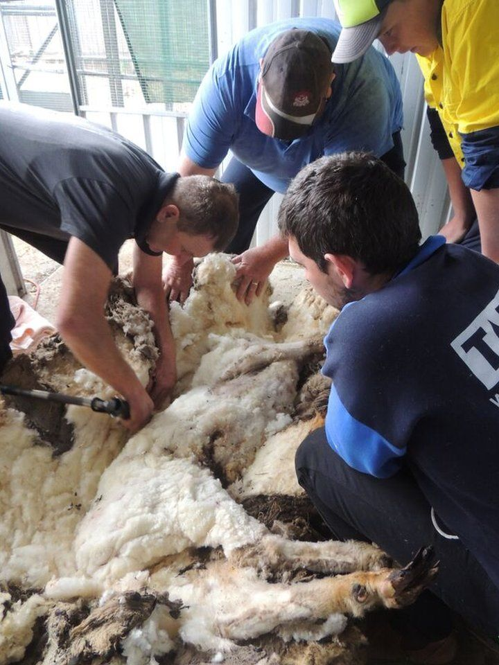 Chris the sheep had is sedated during the very delicate operation.