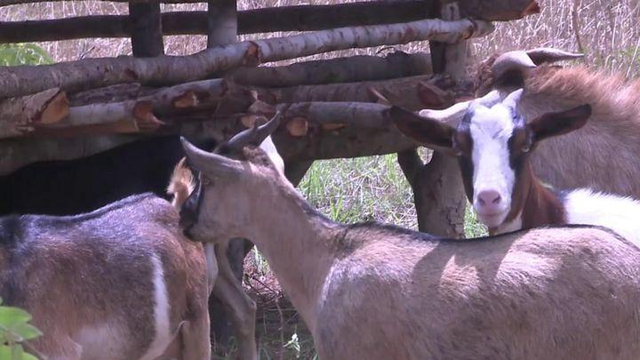 Zambian goat farmers see surge in demand