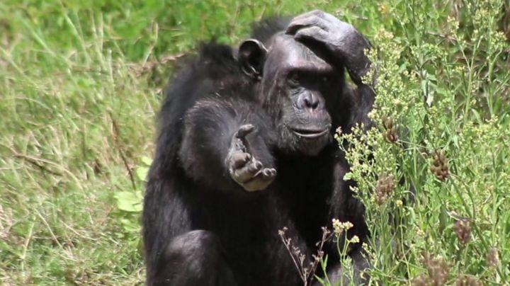 The Kenyan centre saving endangered chimpanzees