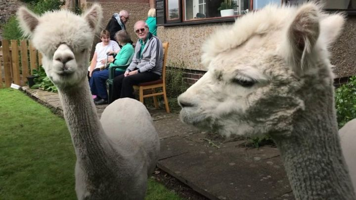 Bamburgh retirement home welcomes alpacas as new residents