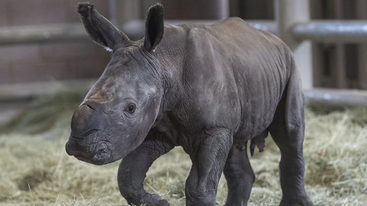 Northern white rhino hope after artificial insemination birth