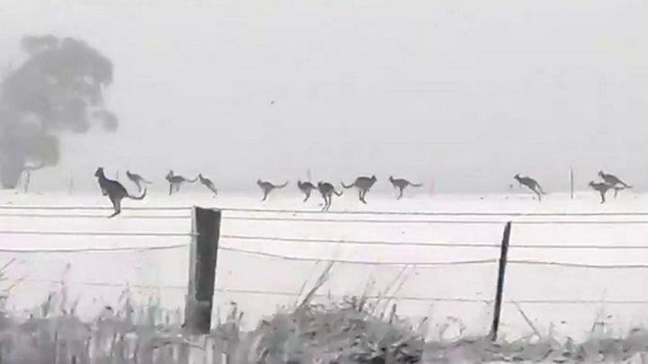 As raras imagens de cangurus pulando na neve na Austrália