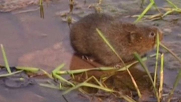 ba59a99e3a2 Endangered water voles return to Somerset river after 30 years - BBC ...