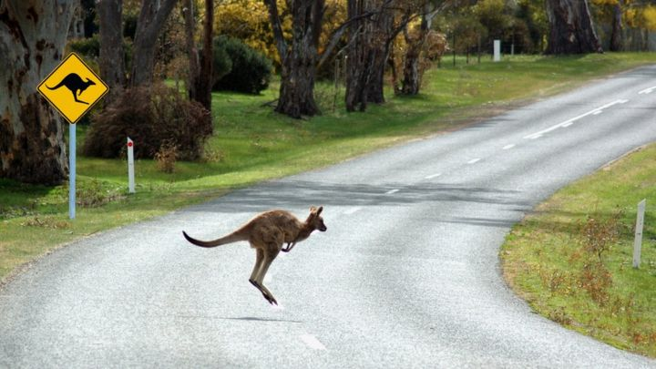 Volvo's driverless cars 'confused' by kangaroos