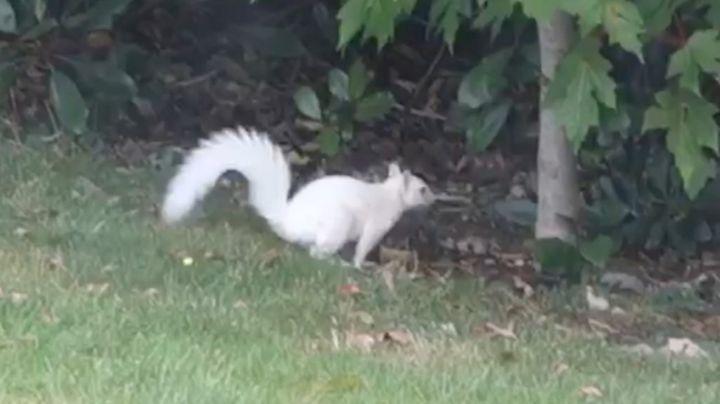 White 'albino' squirrel spotted in Bromham garden