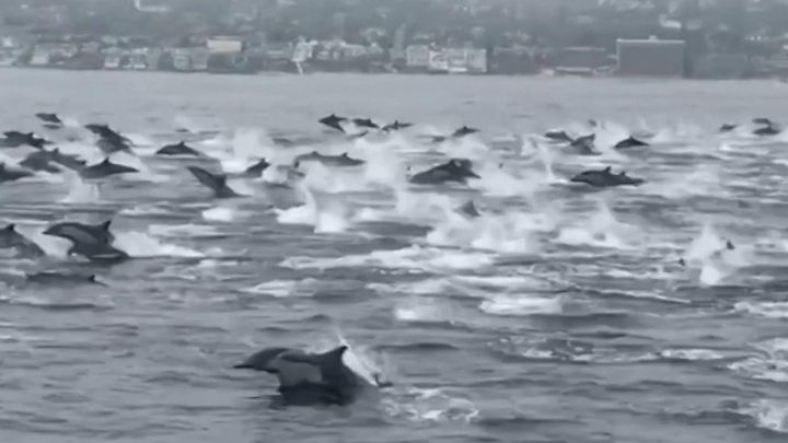 Grupo de golfinhos dá espetáculo na costa da Califórnia