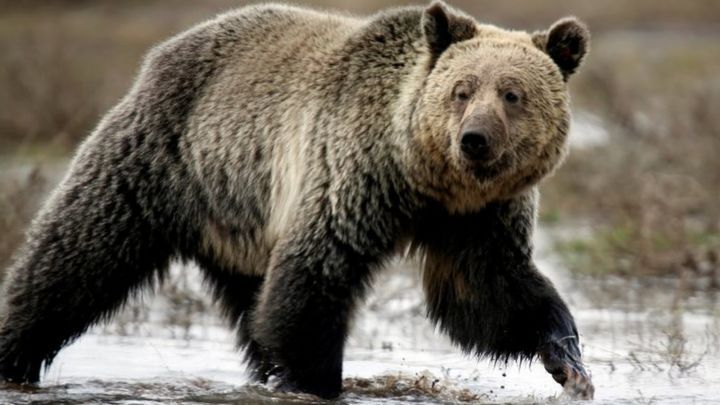 Yellowstone grizzlies' protection restored