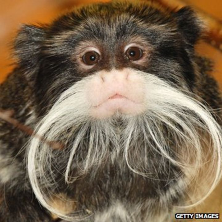 What are some laws regarding owning monkeys?