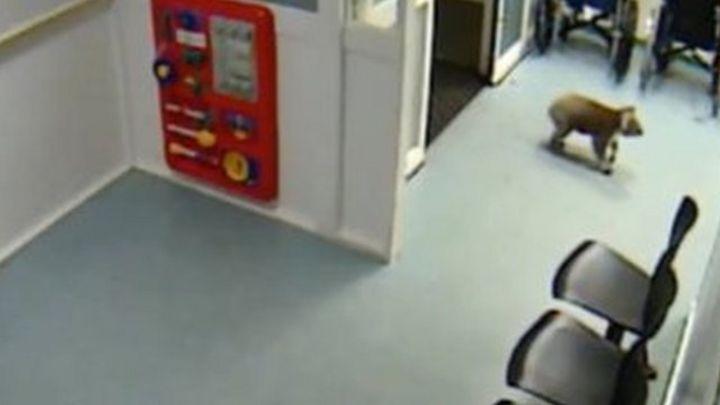 Koala strays into Australian hospital