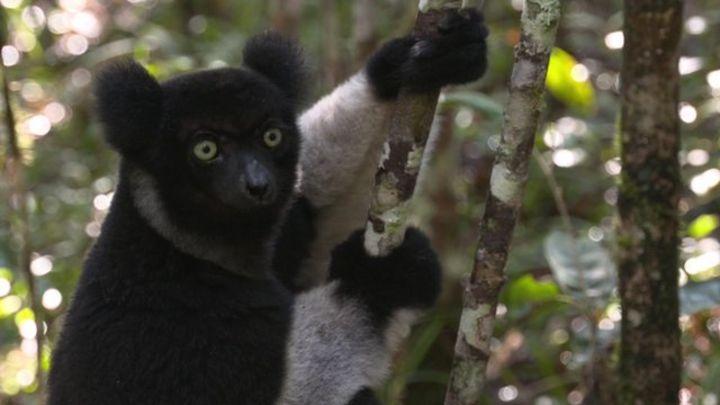 Madagascar's lemurs cling to survival