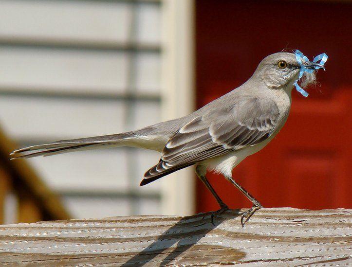 A mockingbird with nest materials in its beak