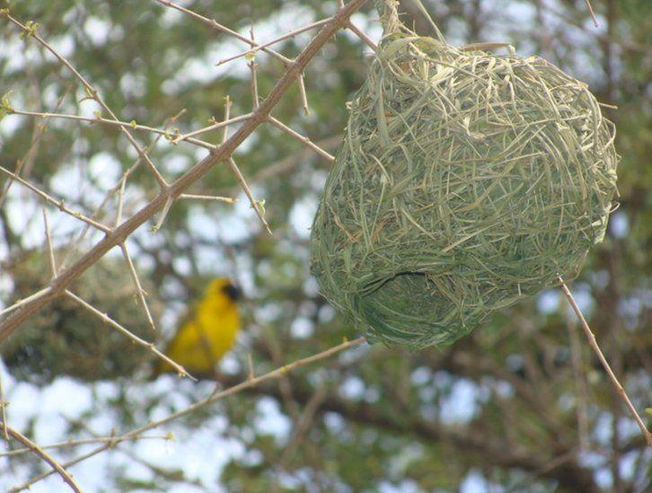 A weaver bird's nest