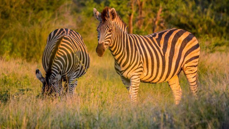 Насекомые приносят много беспокойства животным Африки. Полоски зебры - защитный механизм?