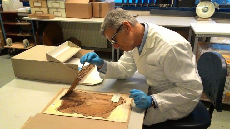 Gert Kema en el laboratorio mirando hojas prensadas de una planta de banano infectada