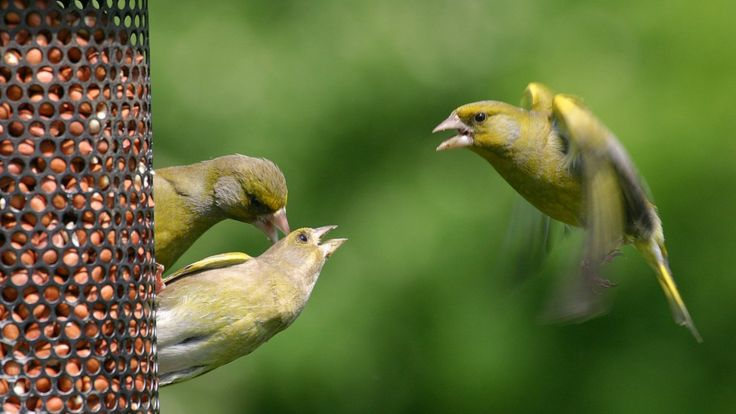 https://ichef.bbci.co.uk/news/736/cpsprodpb/3F57/production/_100351261_greenfinch-creditbto-jillpakenham.jpg