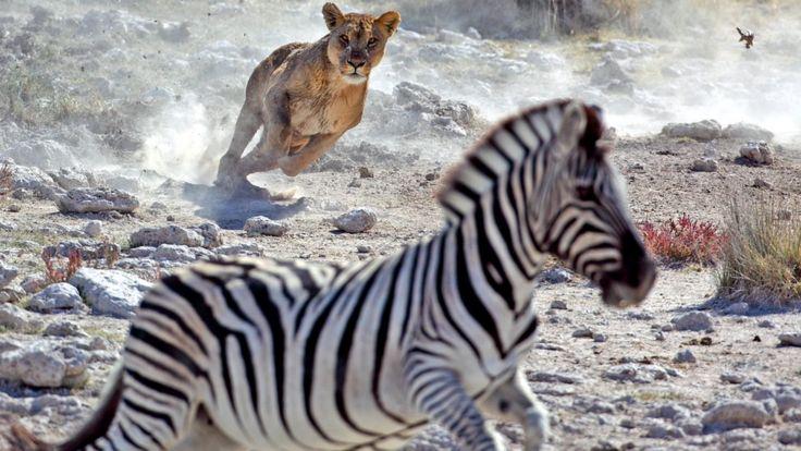 Зебры обычно убегают от хищников, а не прячутся от них