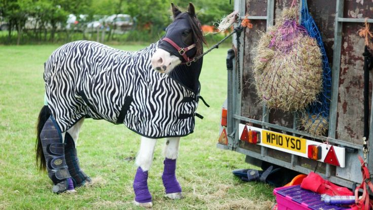 Идея одевать лошадей зебрами приходит в голову не только эволюционным биологам: на снимке - лошадь, накрытая полосатой попоной, на шоу в Керкбиморсайд (Англия) в августе прошлого года